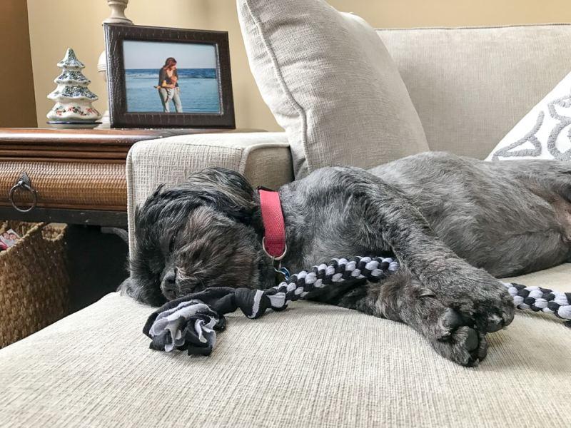 Roscoe loves his DIY braided dog toy