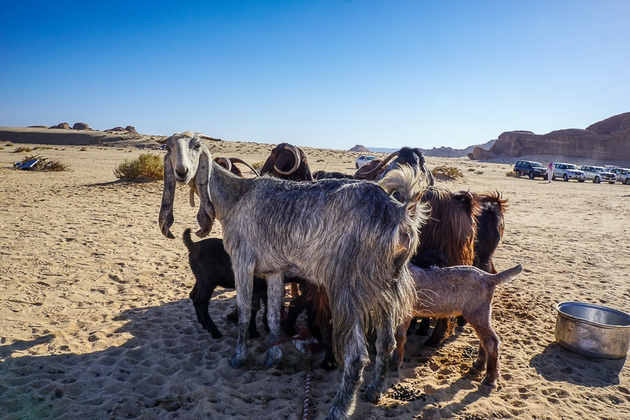 Baby goats at the Bedouin camp