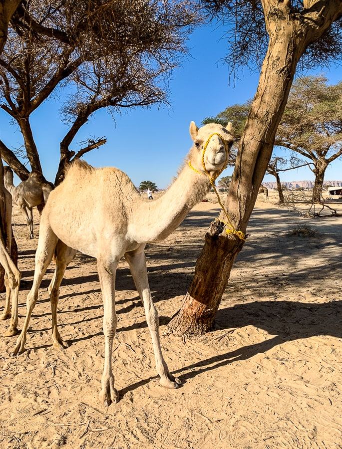 The camel in question