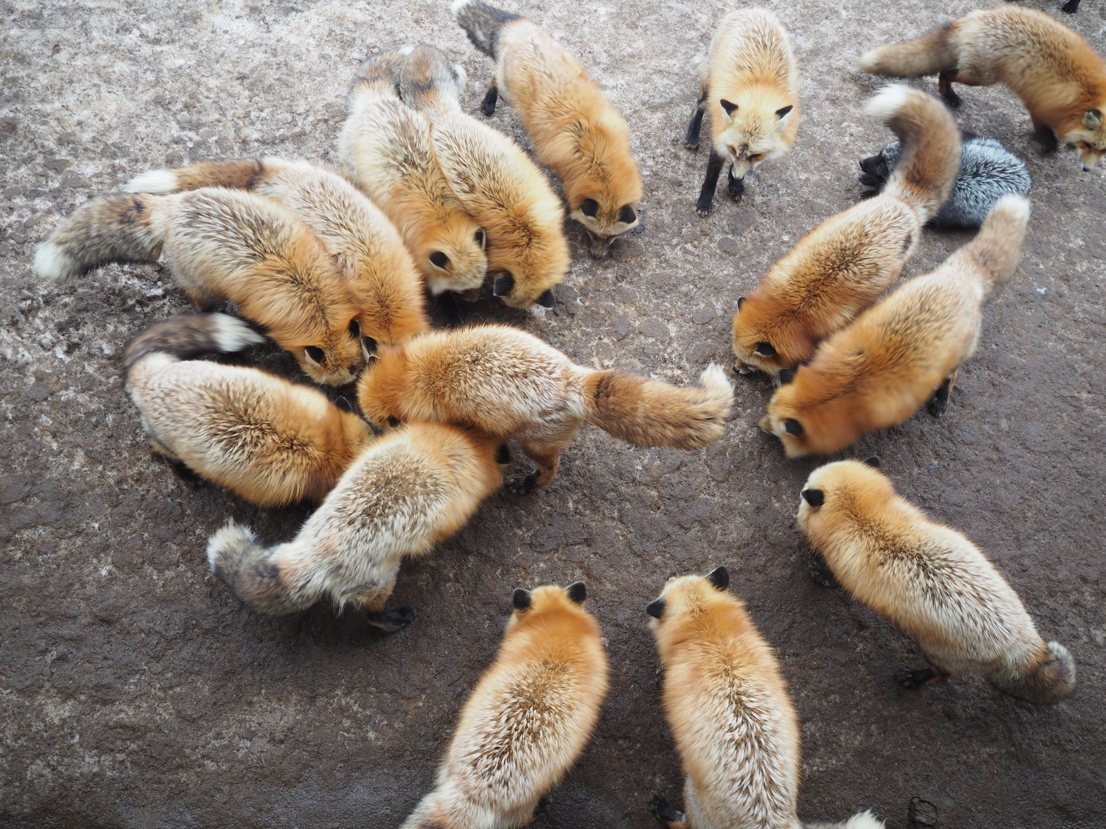 Types of Foxes | List of Fox Species