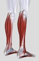 Calf Muscles Anatomy Gastrocnemius Soleus Training
