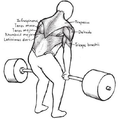 Starting Strength Deadlift Muscles Back