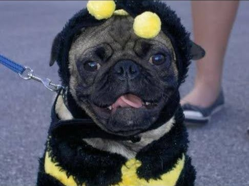 Pug in Bumblebee outfit