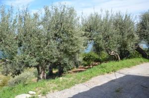 Olive-trees_3405-300x198
