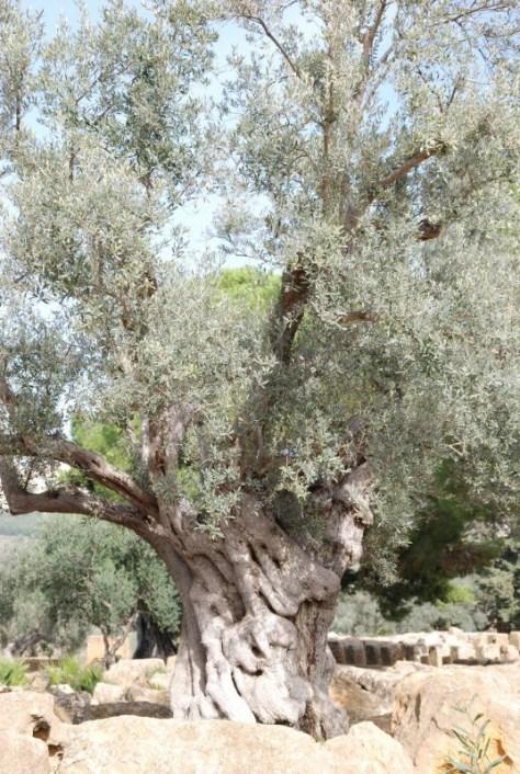 olive-tree-DSC_0039-537x800 (1)