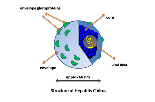 Hepatitis C virus (HCV)