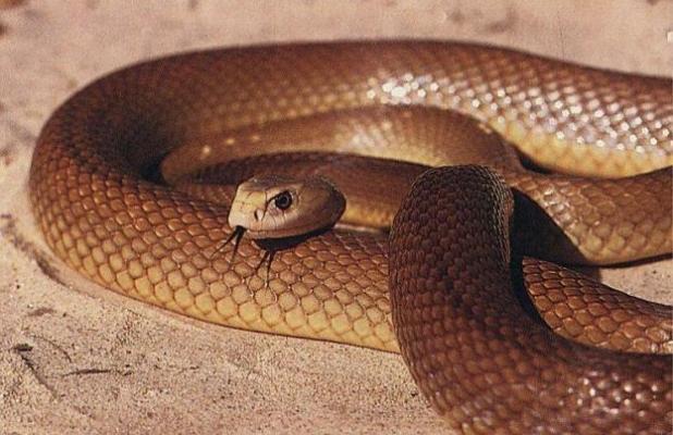Most Venomous Snake : Inland Taipan