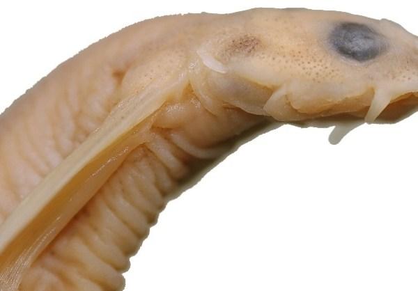 Vandellia Cirrhosa