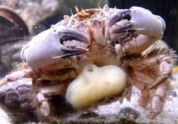 Top Ten Incredibly Dangerous Parasites : The womb-Hijacking Barnacles