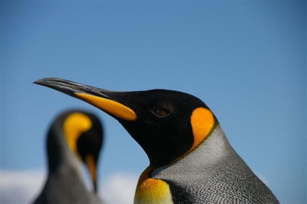 10th largest bird in the world - King penguin