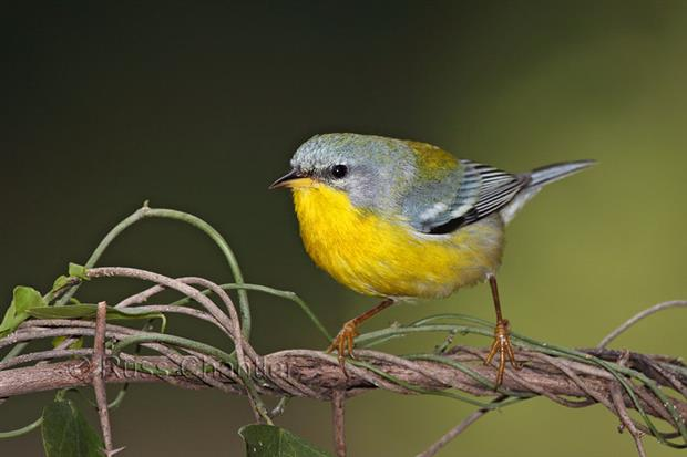 The Tropical Parula