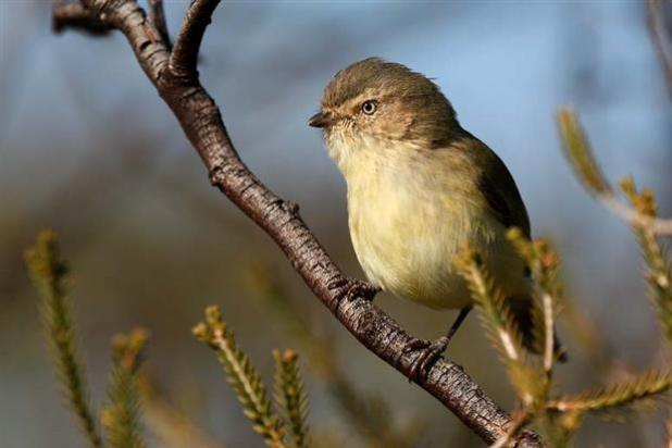 The Weebill - 2nd smallest bird in the world