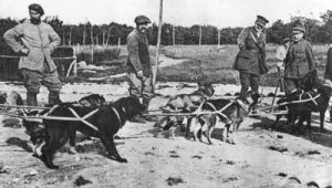 Alaska sled-dogs serving in France, 1918