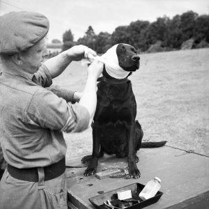 A British war dog receiving first aid.