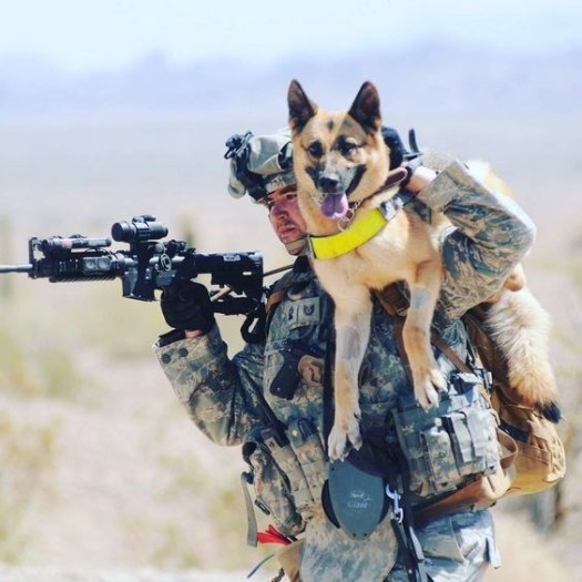 Buddies training together. Having each-other's  back. Military Working Dogs in Gulf, Iraq, and Afghanistan War.
