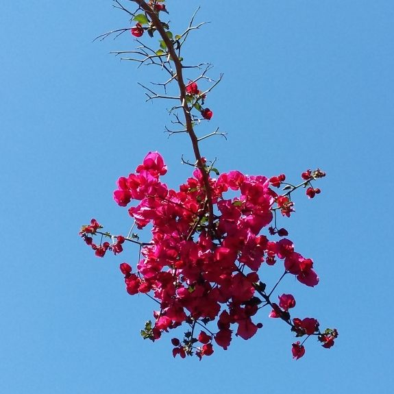 bougainvillea hanging from the sky