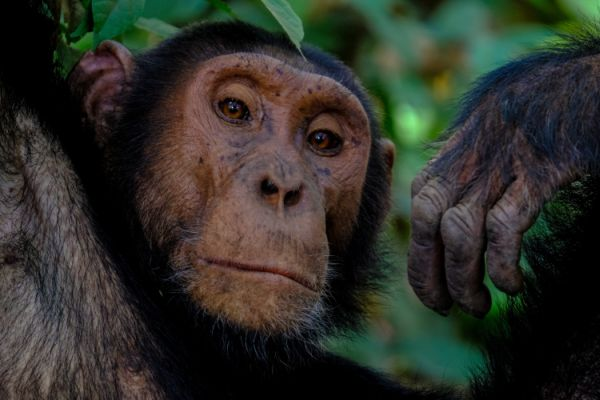 the ape and the travelers, an unusual fable