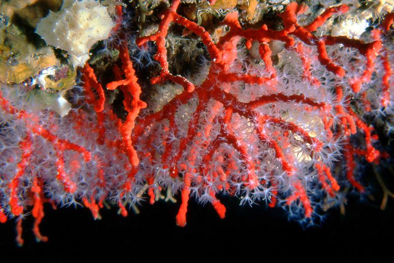 Corall vermell: l'or del Mediterrani