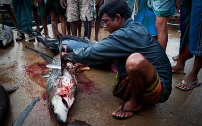Tiburones: de depredador a presa