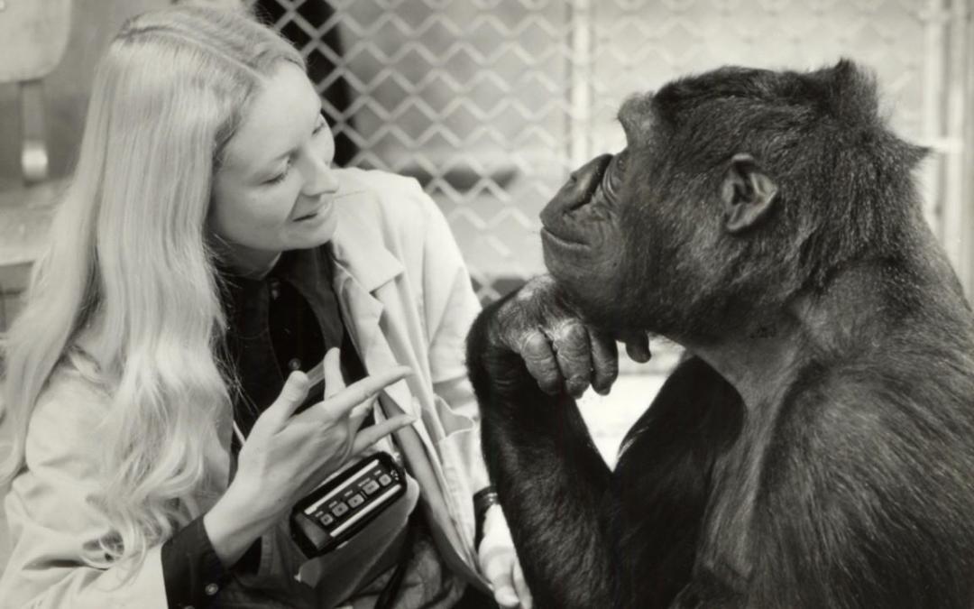 Koko, la goril·la que parla amb les mans