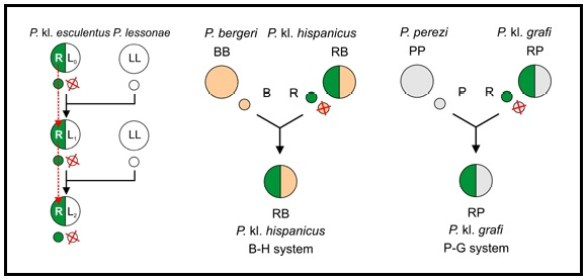 Hybridogenesiisisisi