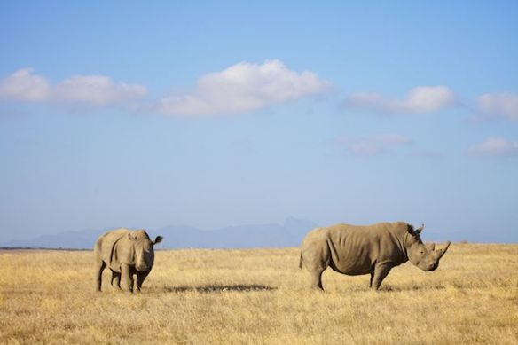 White rhino mother and daughter, Albertinia, South Africa  (c) Allyson Scott