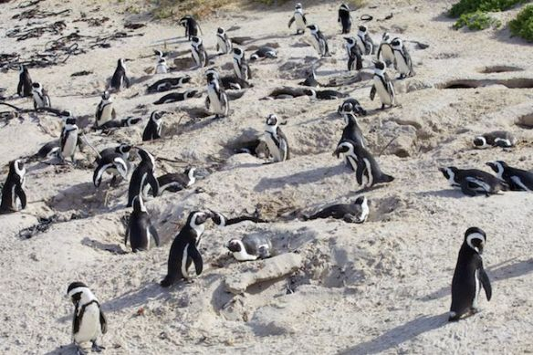 African penguin colony nesting sites, Boulders Beach, Simon's Town, South Africa.  (c) Allyson Scott