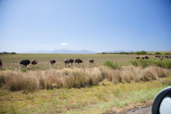 Ostrich flock, Garden Route, South Africa  (c) Allyson Scott