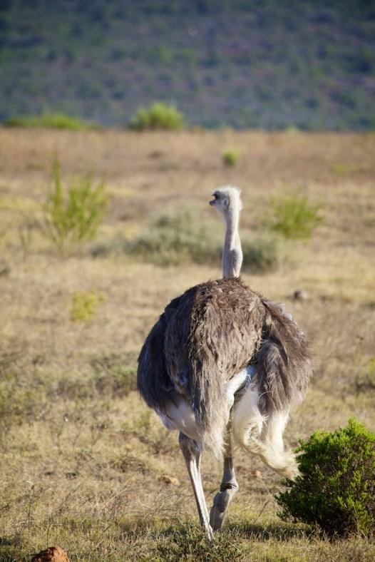 Female ostrich  (c) Allyson Scott