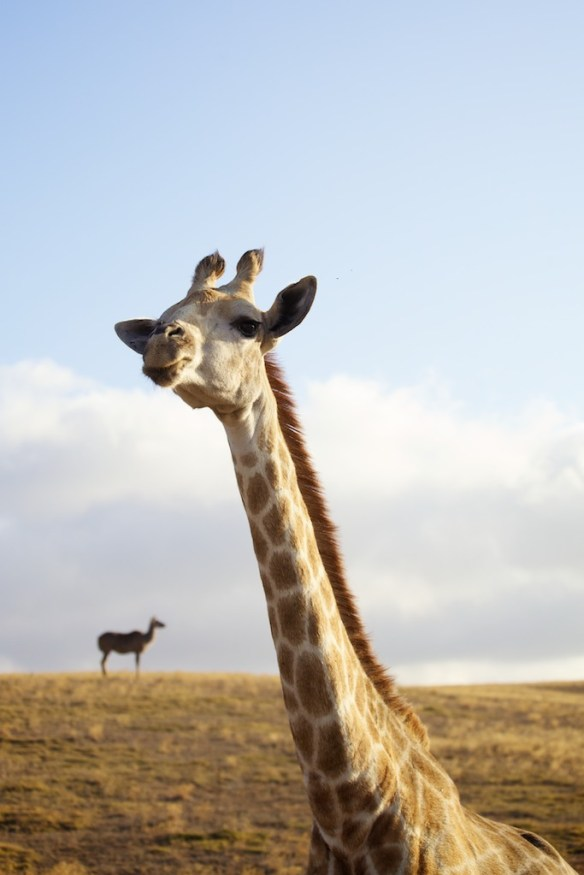 Young male giraffe  (c) Allyson Scott