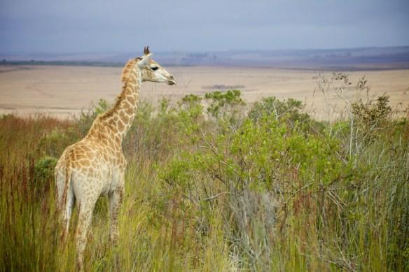 Juvenile giraffe overlooking grassland