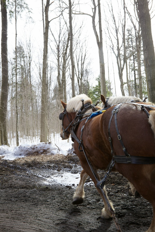 Two Belgian horses pulling cart