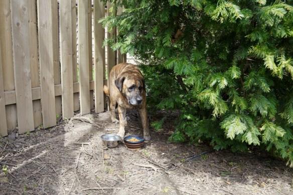 Grace hiding in her new back yard