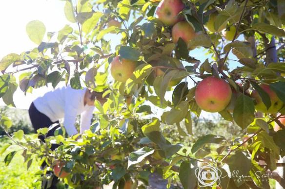 Mom picking honeycrisp apples
