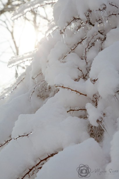 Shrub covered in ice and snow