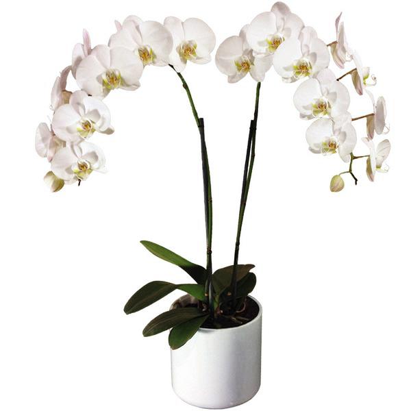 Orquídea phalaenopsis 2 varas