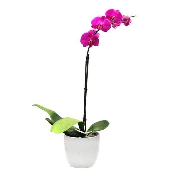 Orquídea phalaenopsis 1 vara