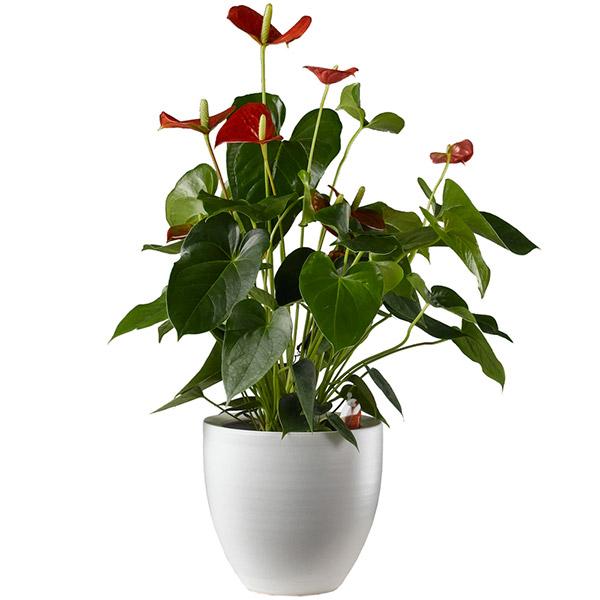 Anturio. Plantas para regalo. Floristería ALMA FLORAL Bogotá
