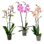 orquídea phalaenopsis 2 varas. Floristería ALMA FLORAL Bogotá