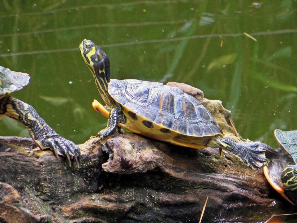 Cómo cuidar a una tortuga