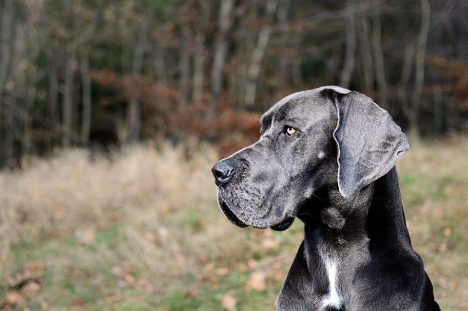 Gran danés, una de las razas de perros grandes más bonitas del mundo