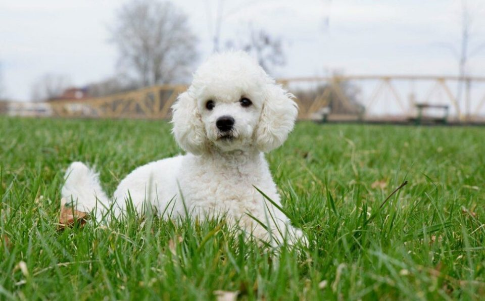Caniche, una de las razas de perro que sueltan menos pelo