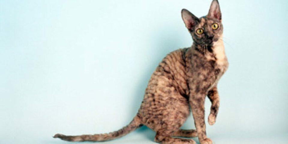 Cornish Rex, una de las razas de gato que sueltan menos pelo