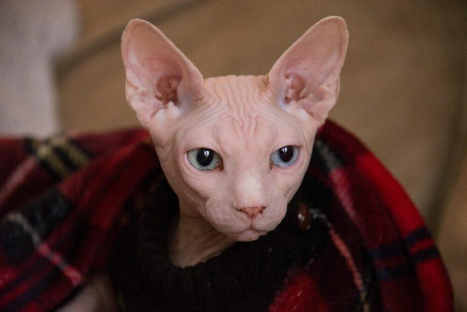¿Qué razas de gato sueltan menos pelo? Los gatos esfinge son una de ellas