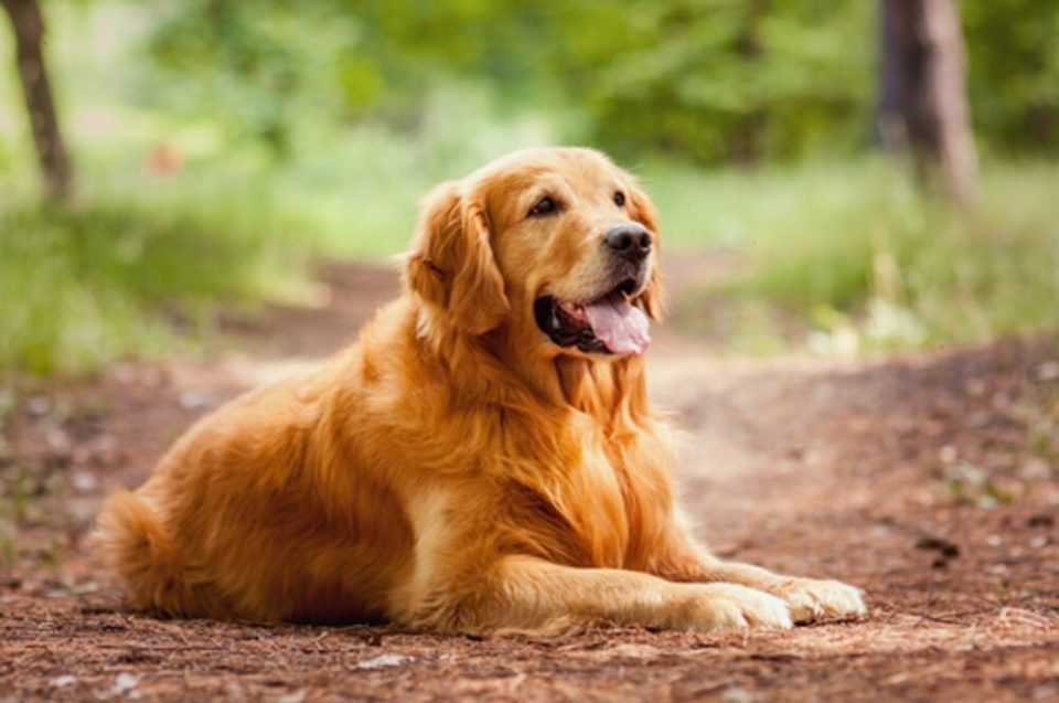 razas de perro más fáciles de educar