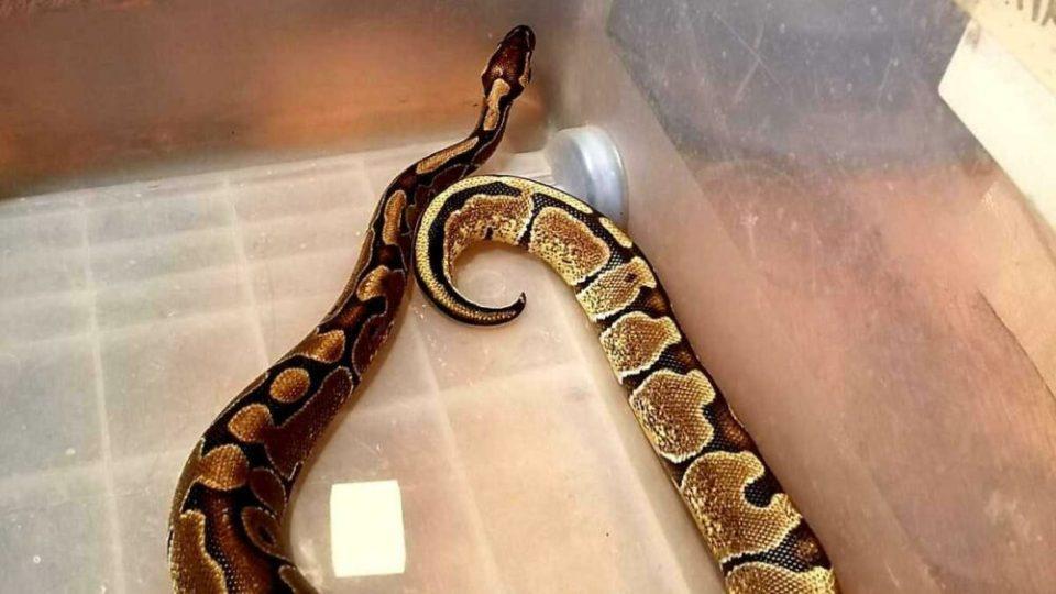 Tener una serpiente venenosa como mascota es peligroso