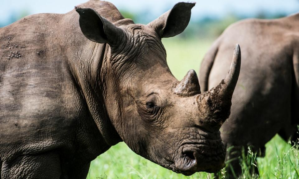 Rinoceronte, uno de los animales en peligro de extinción
