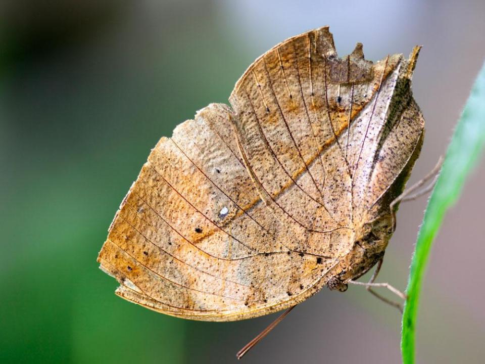 ¿Dirías que es una hoja? Pues es una mariposa mimetizada