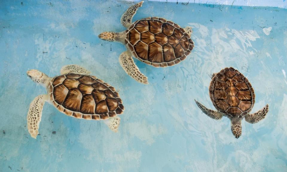 Tortugas carey, entre los animales en peligro de extinción