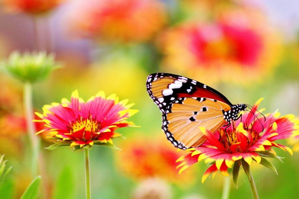 importancia mariposas